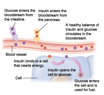 Cross section of blood vessel and cell showing insulin and glucose working together normally.