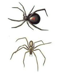 Black widow spider and brown recluse spider.